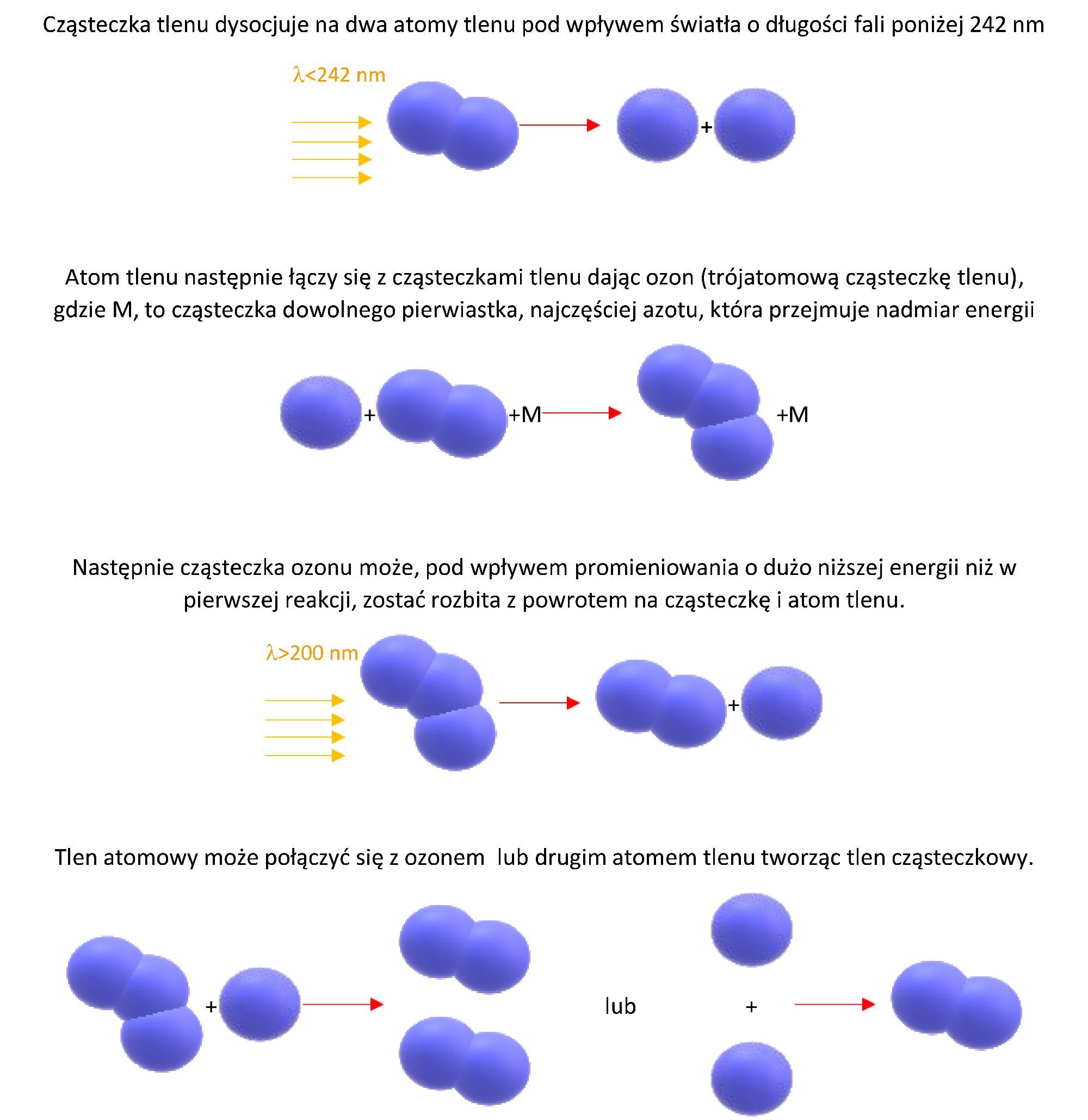 Schemat cyklu Chapmana
